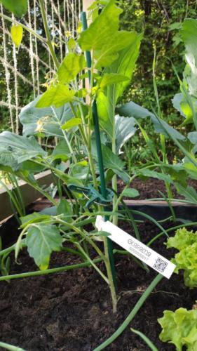Tomatenpflanze mit Schlaufenetiketten
